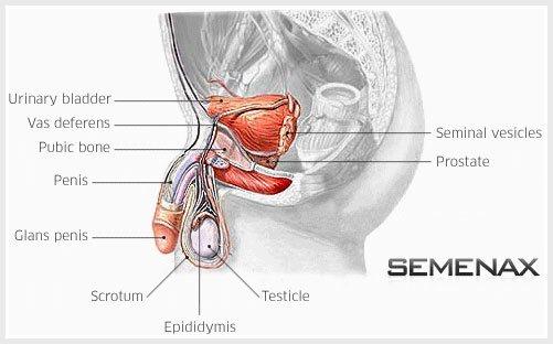 Anatomie van het mannelijk geslachtsdeel